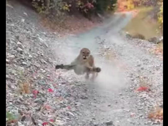 Hat percen keresztül üldözte egy puma a halálra vált túrázót egy utahi nemzeti parkban