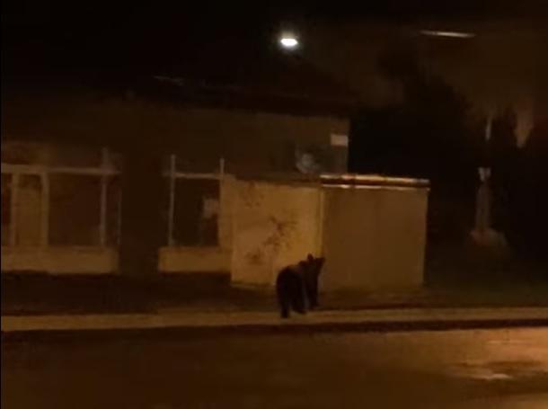 A szemtanú szerint egy dudáló autóval üldözték a Miskolcra betévedő medvét