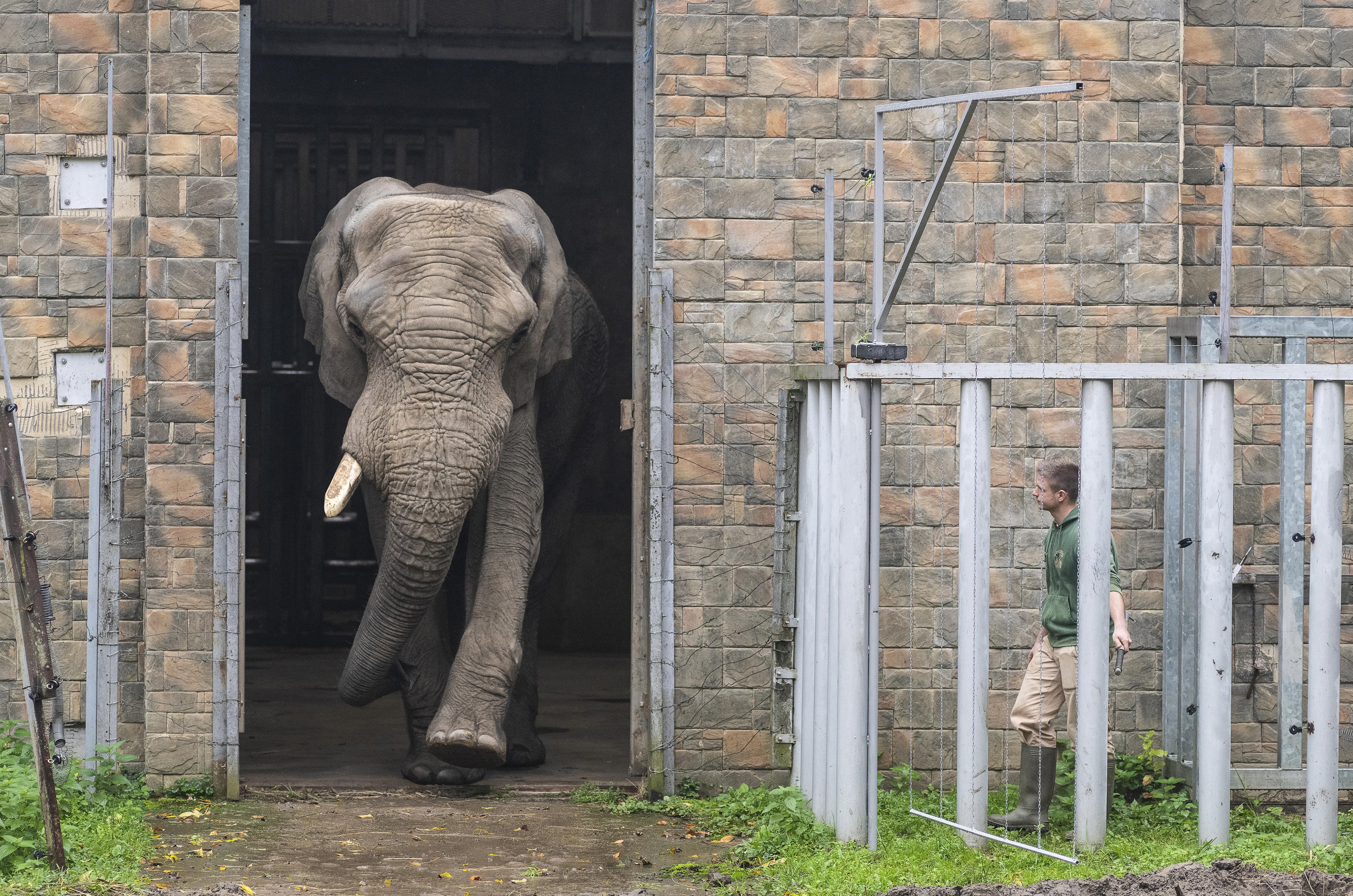 Hazatért Nyíregyházára Jack, Európa legnagyobb afrikaielefánt-bikája