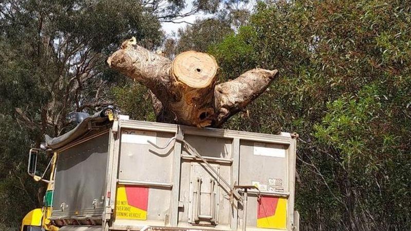 Kivágták az ausztrál őslakosok szent fáját, hogy autóutat építhessenek a helyére