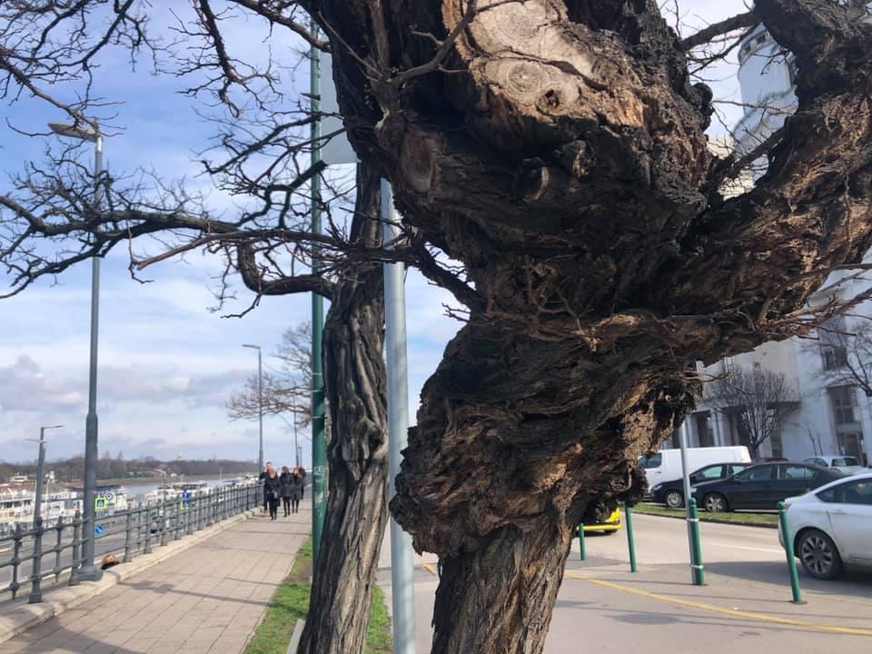 Gyászsétával segít feldolgozni a Főváros az újlipótvárosiaknak, hogy kivágnak 105 Duna-parti fát