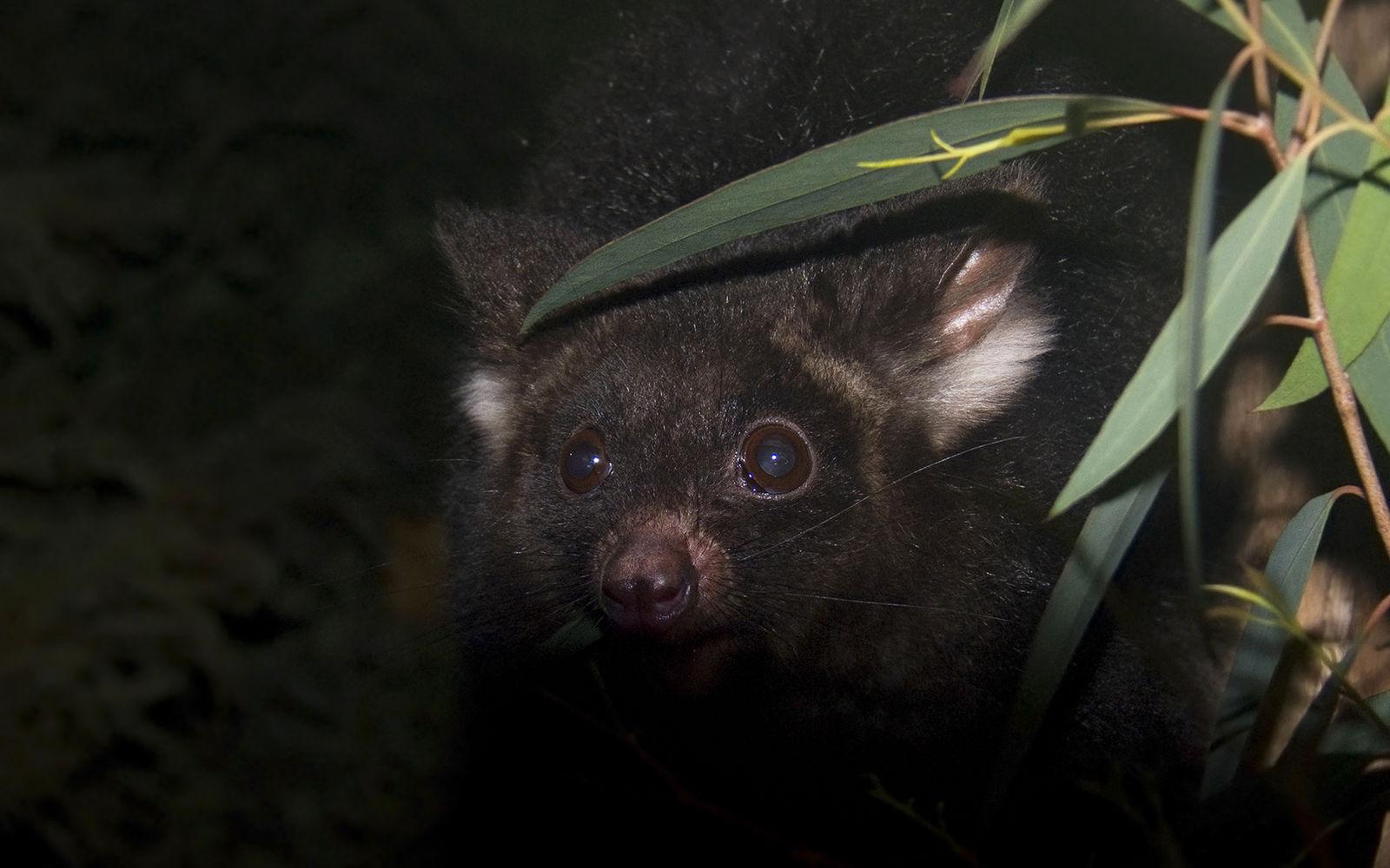 A nagy fajkülönülések napja: a kelet-ausztrál óriás repülőerszényesek sem egy, hanem három különálló faj