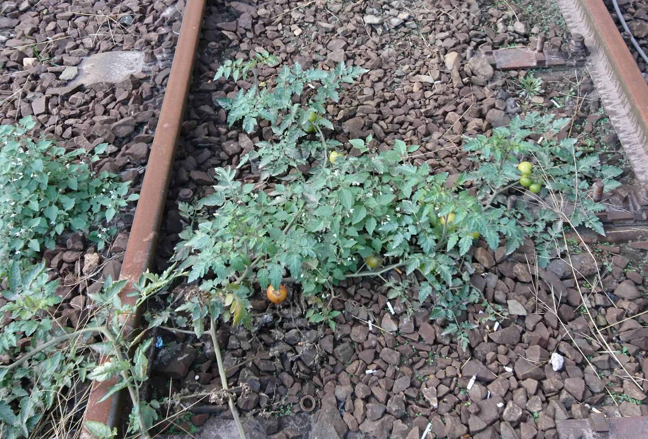 November közepén is szépen érik a paradicsom a Nyugati pályaudvar sínei között