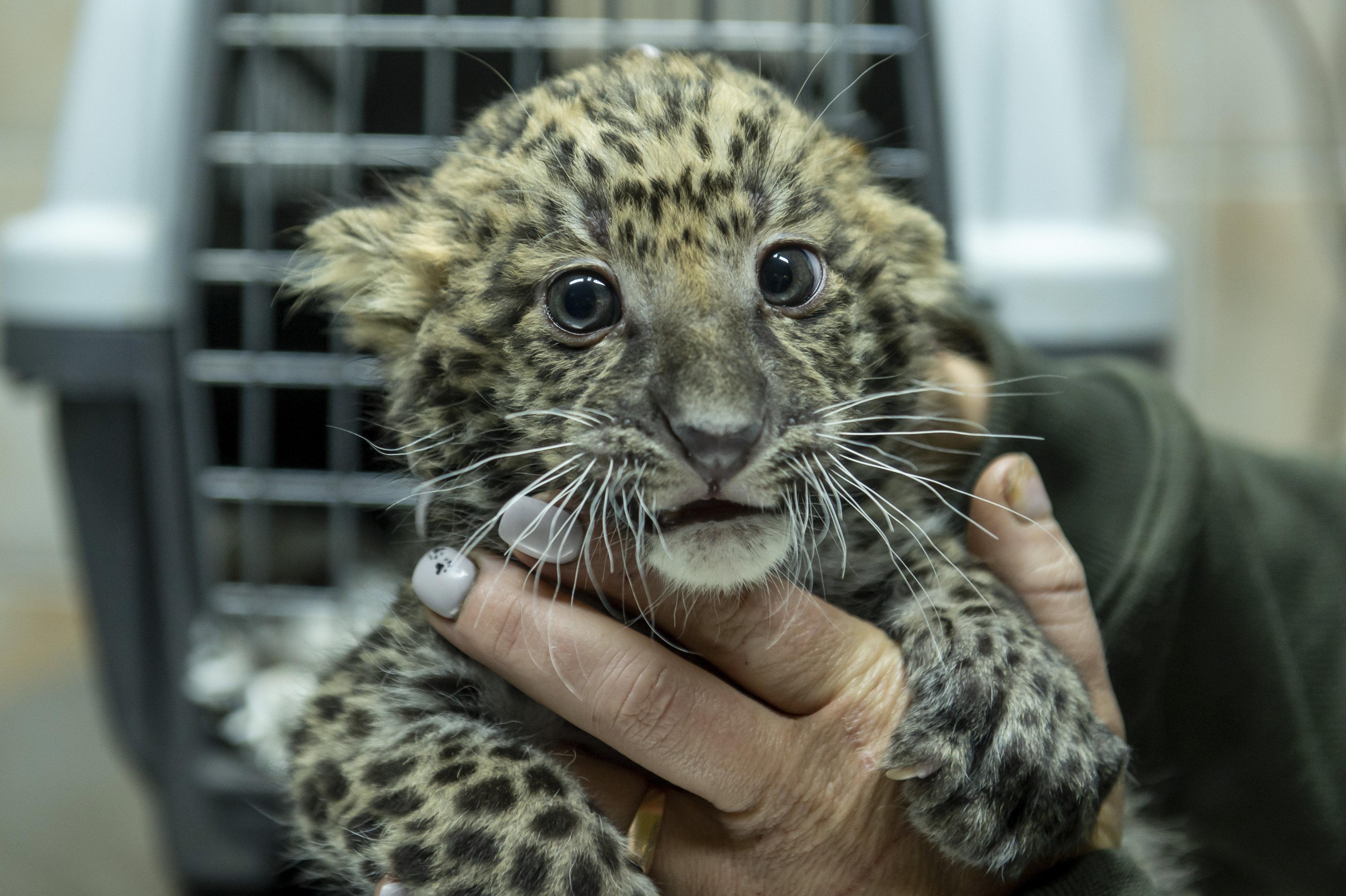 Leopárdok születtek Gyöngyösön