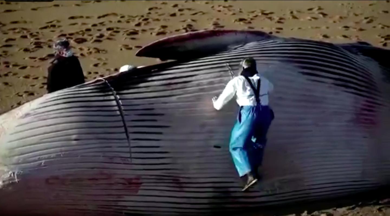 Vizsgálják, hogy tényleg vírusos járvány miatt úszik-e ki a partra annyi bálna a francia partoknál
