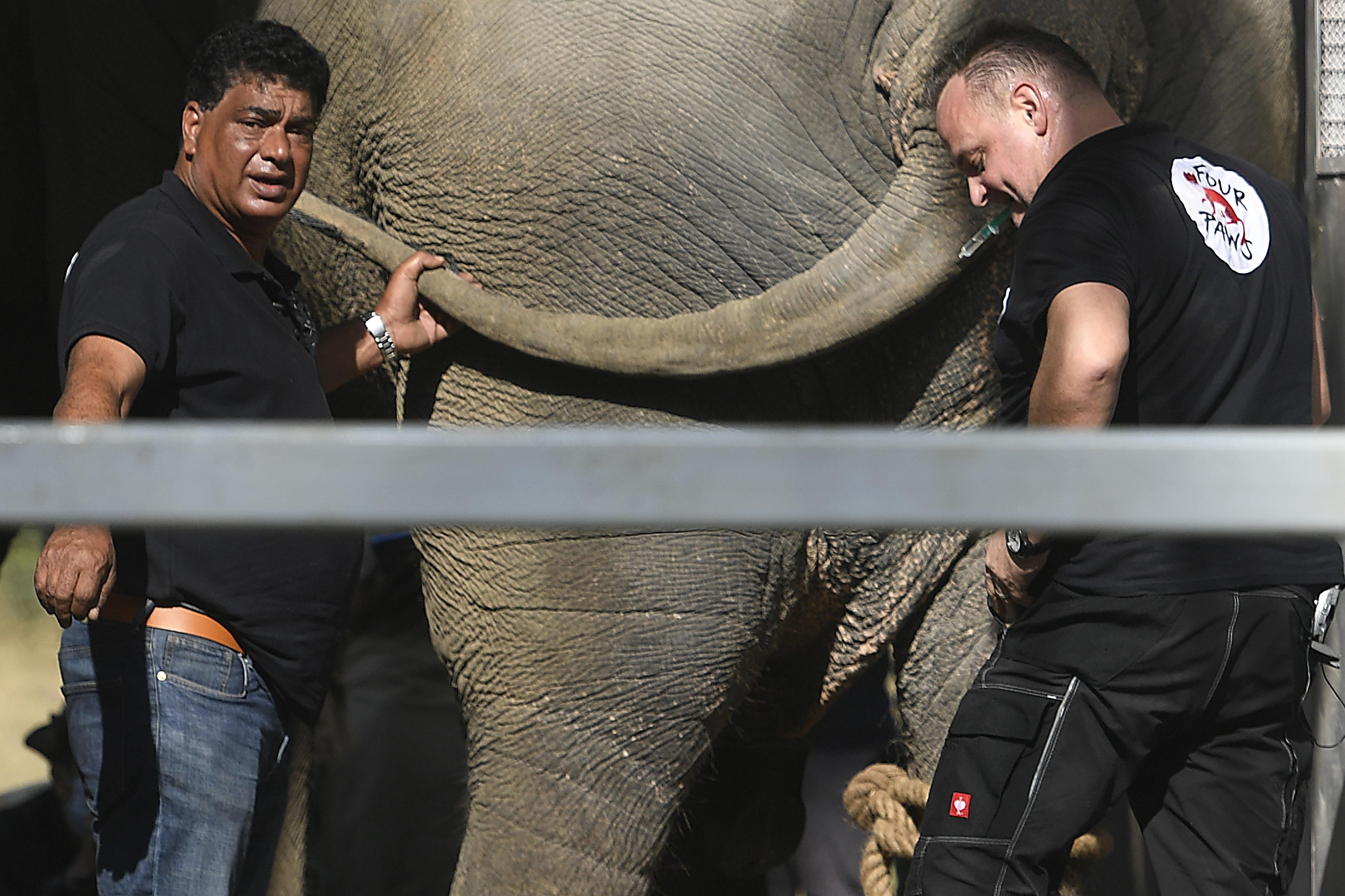 Hét órán keresztül röptetik új otthonába Kaavant, a 36 éves, túlsúlyos elefántot
