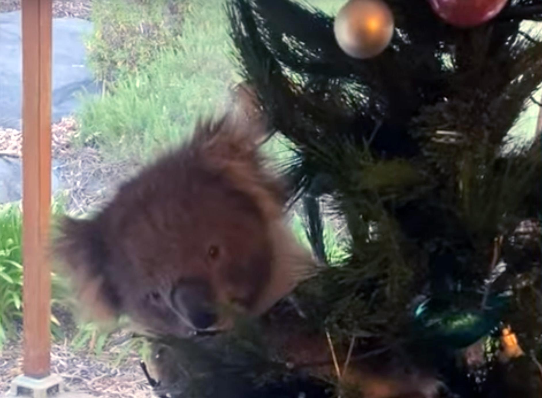 Egy mit sem sejtő ausztrál család koalára bukkant a karácsonyfáján