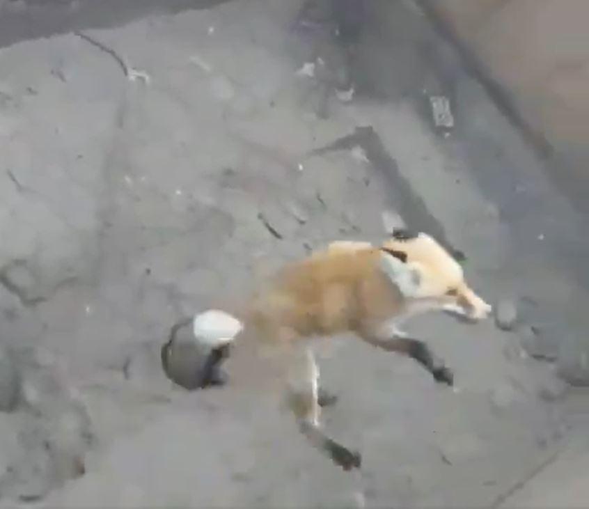 Kijut-e a róka egy 3 méter mély aknából?