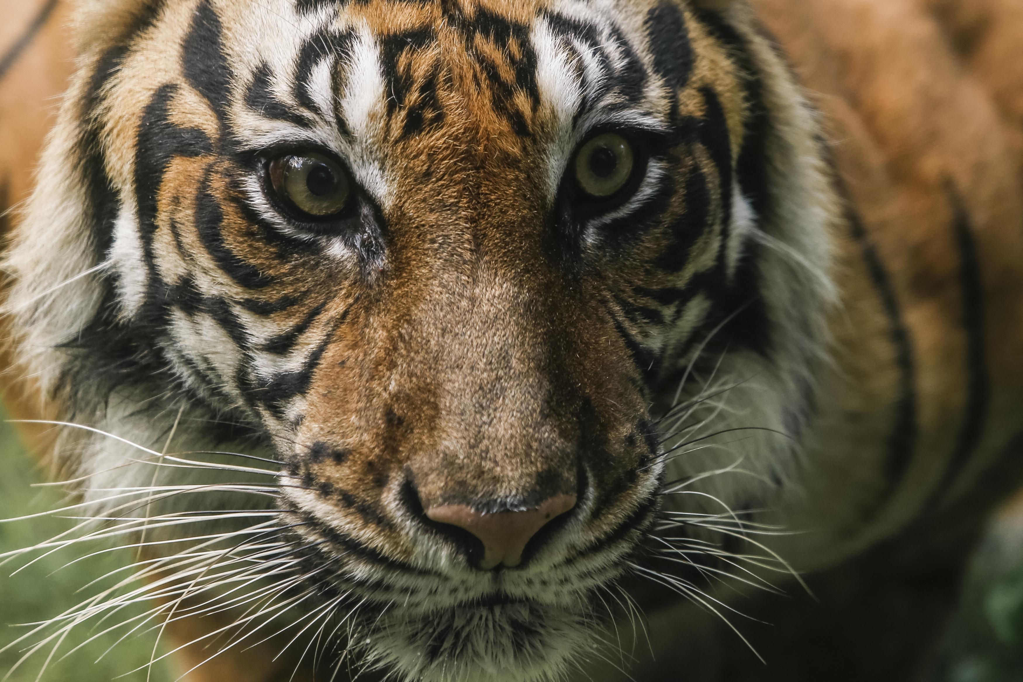 Átharapta gondozója torkát a tigris egy észak-ukrajnai állatkertben