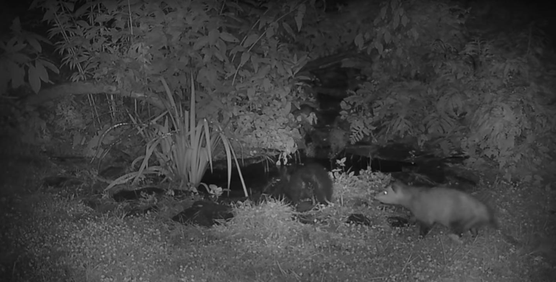 Az állatvilág szemétládái: jött egy oposszum, és simán csak görénységből belelökte a bűzborzot a tóba