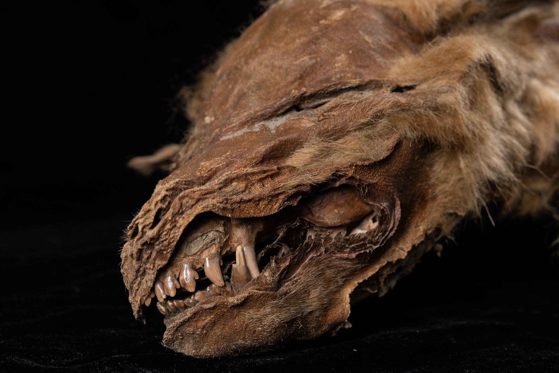 57 ezer éves farkaskölyök múmiája került elő a jégpáncélból