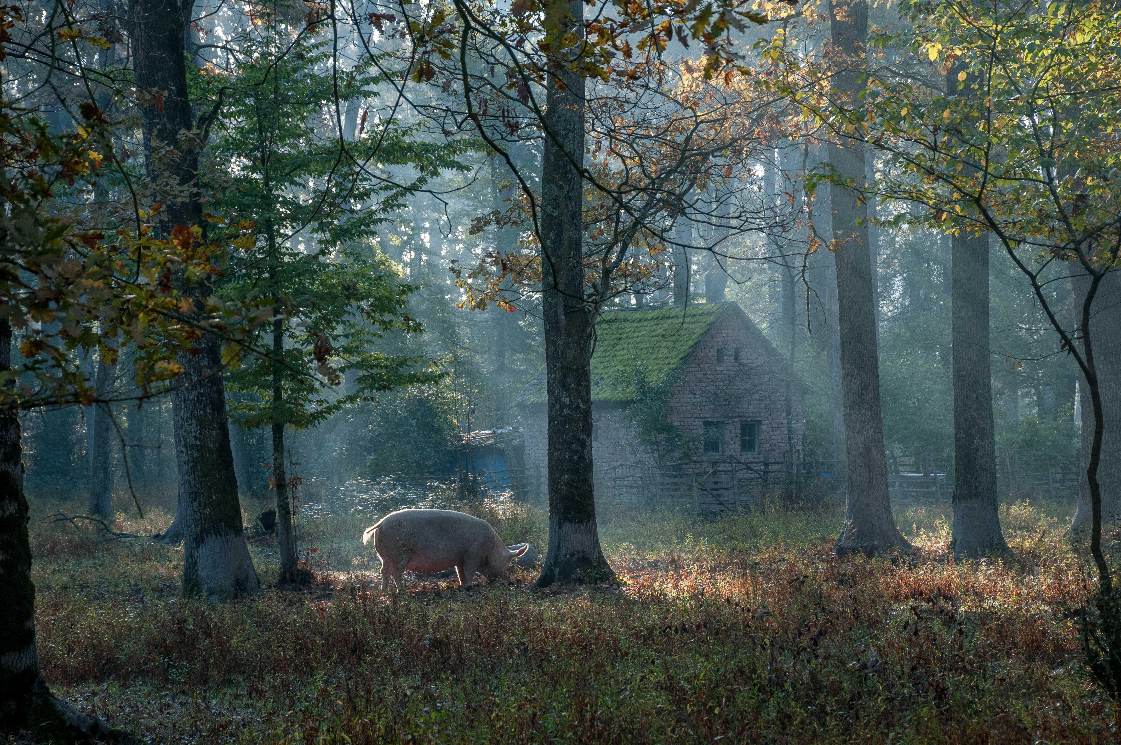 Az erdő, ahol még mindig élnek házi disznók