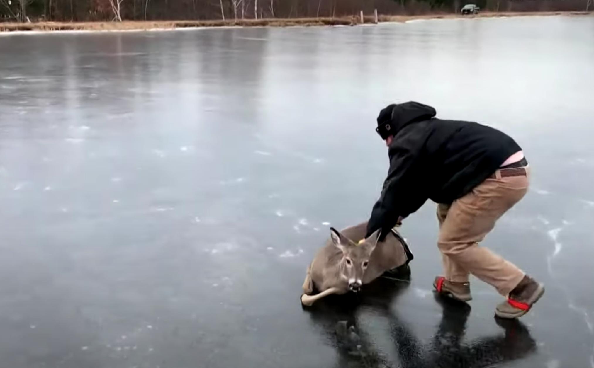 Befutott egy karácsonyi videó egy jégről mentett őzzel