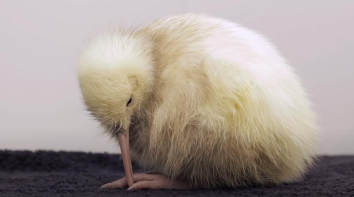 Elakadt a tojása, műtétje után elpusztult Manukura, a pigmenthiányos kivi