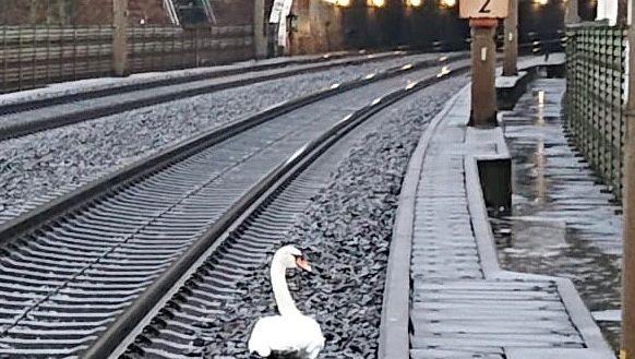 Leállt a közlekedés egy német vasúti szakaszon, mert egy hattyú a sínekre telepedve gyászolt