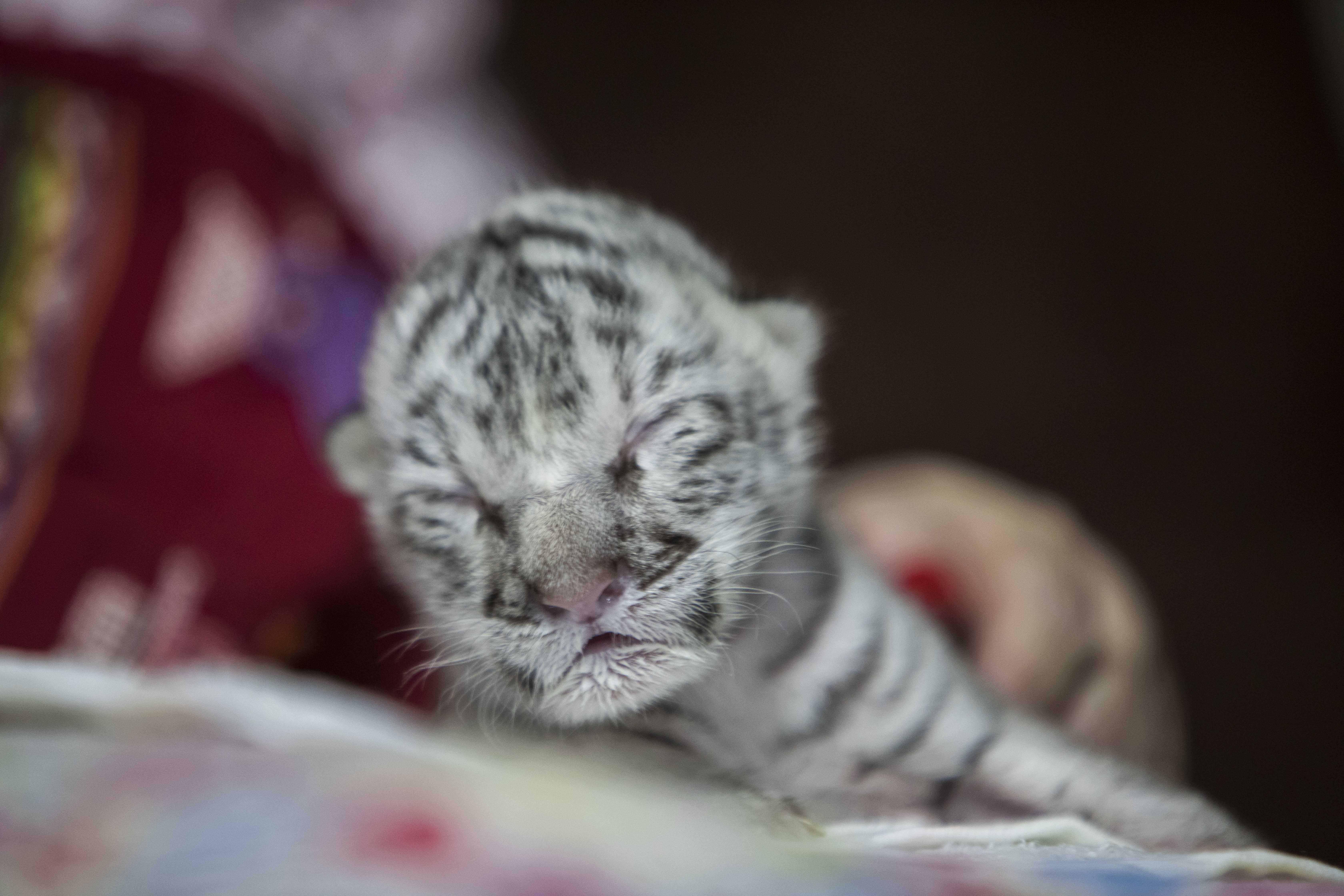 Cumisüvegből táplálják az első, Nicaraguában született fehér tigrist
