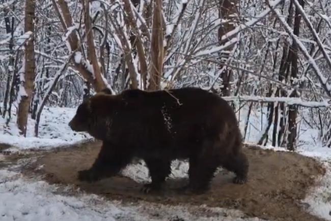 Hat évvel szabadon eresztése után is úgy járkál körbe a romániai medve, mintha még mindig ketrecben élne