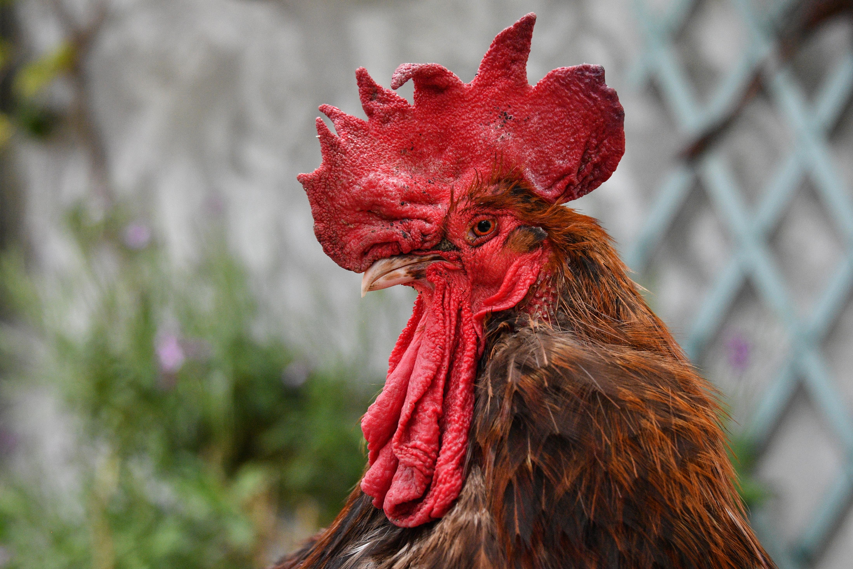Franciaországban mostantól törvény védi a hangos és büdös vidéki állatokat