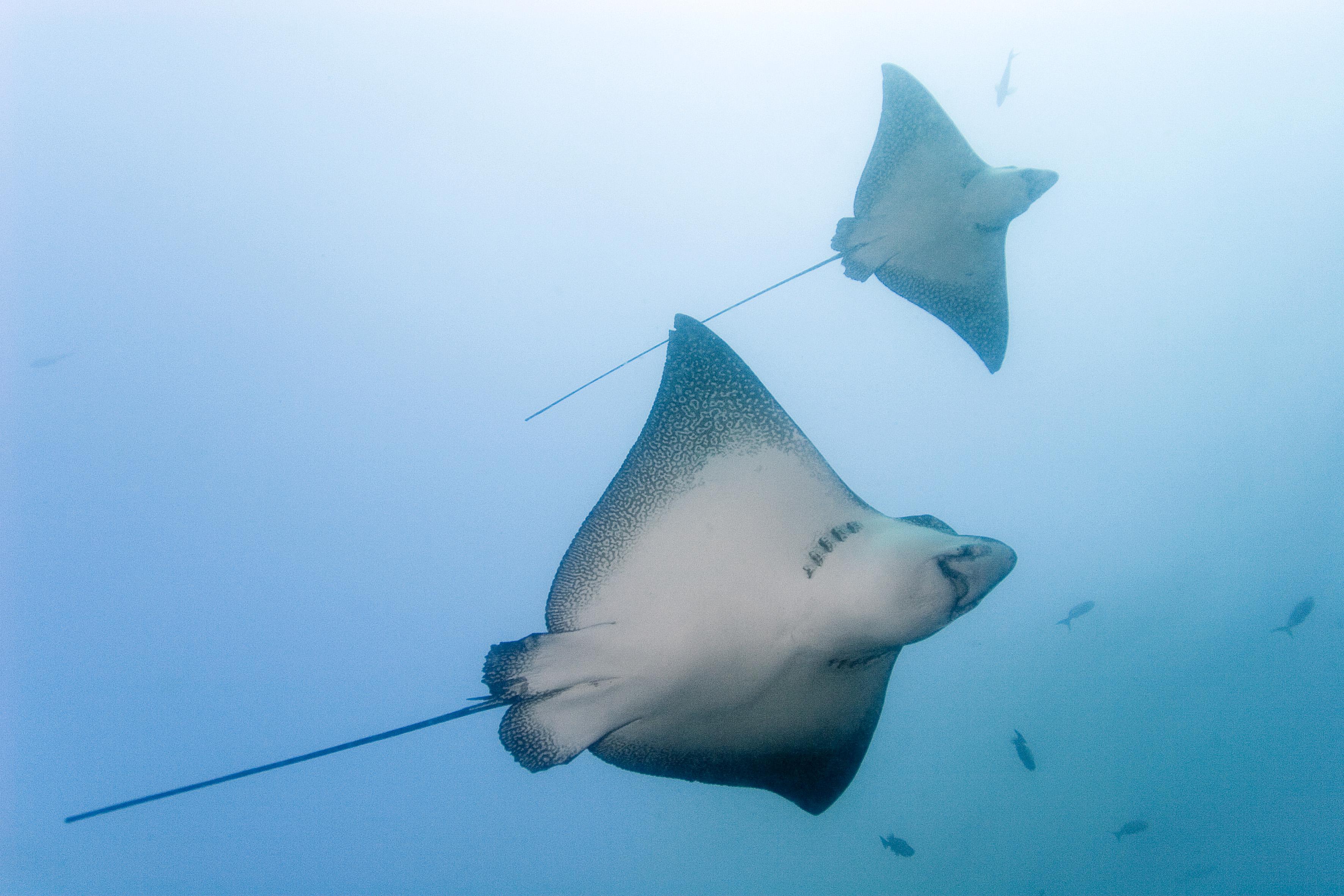 Hímek nélkül szaporodtak a rájalányok egy új-zélandi akváriumban
