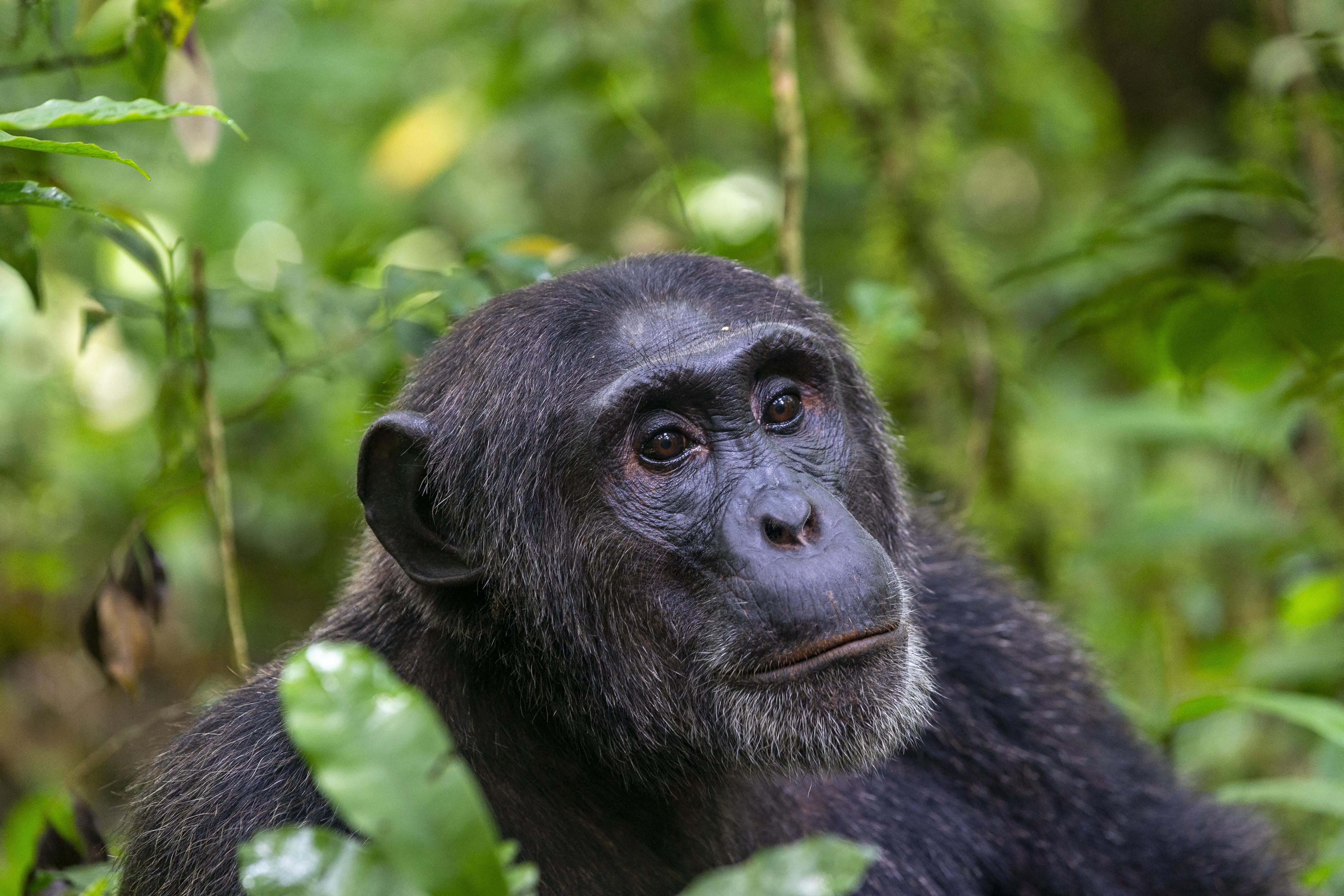 Természetvédők arra kérik a kutatókat és dokumentumfilmeseket, hogy ne készítsenek többé közös fotókat a vadon élő majmokkal