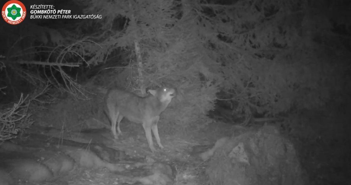 Vúúú - ismételgette egy farkas a Bükk-fennsíkon
