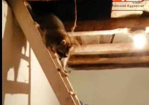 Mosómedvét találtak egy sopronkövesdi ház padlásán