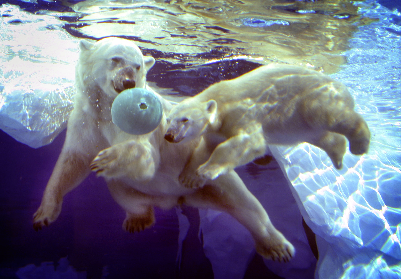 Megölte az egyik nőstény társát a Detroiti Állatkert jegesmedvéje, amikor megpróbált párosodni vele