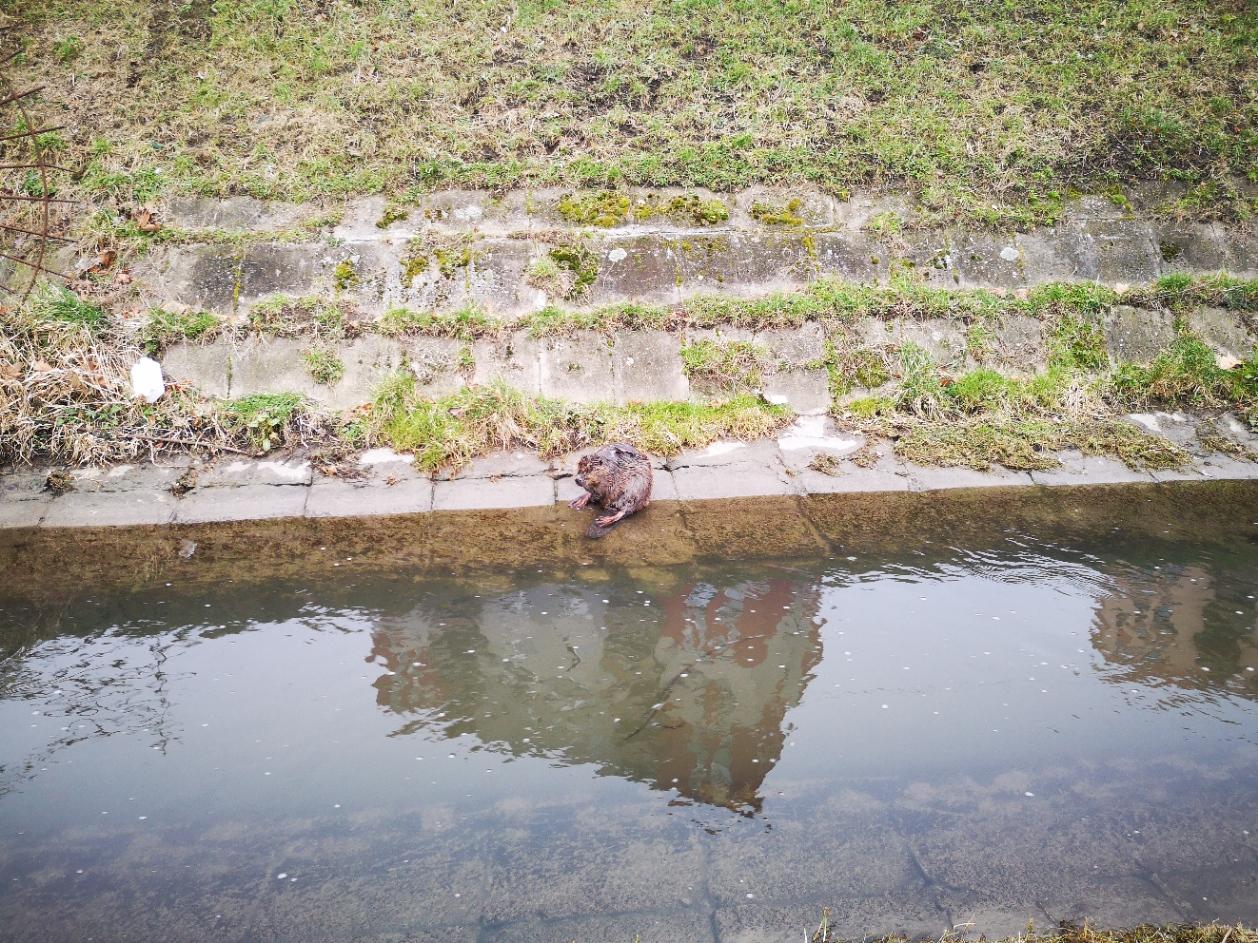 Péntek reggel egy alsórákosi lakótelep mellett pihent meg egy formás hód