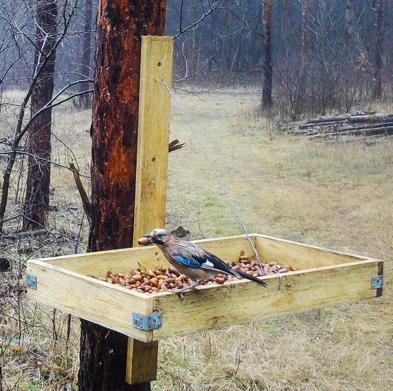 Makkőrült szajkók ültethetnek fákat a megújítandó erdőkben