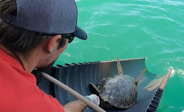 Csúszdán csúsztak a szabadságba a fagyhaláltól megmentett  texasi teknősök