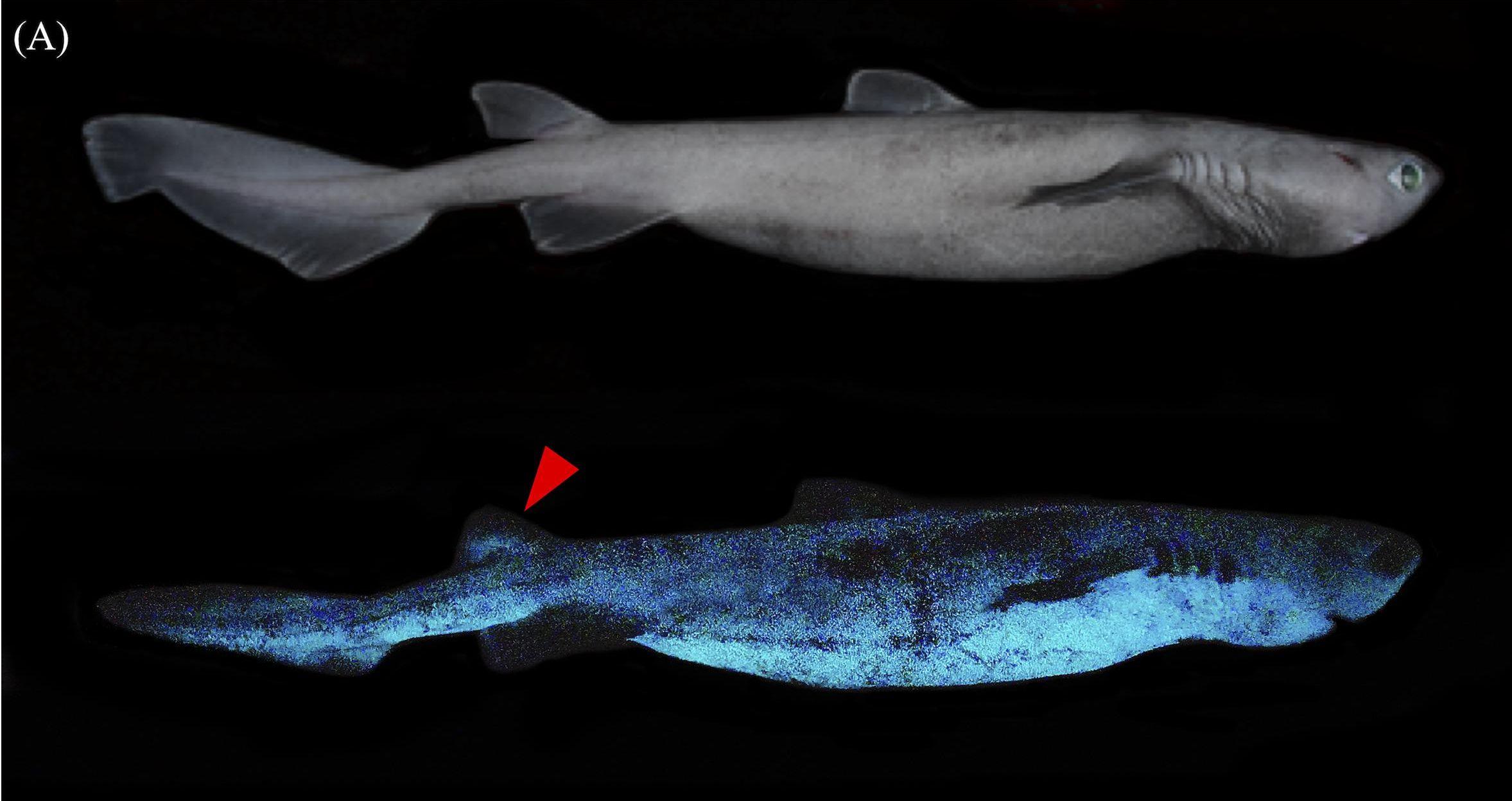 A sötétben világító mélytengeri cápákat fedeztek fel belga és új-zélandi kutatók
