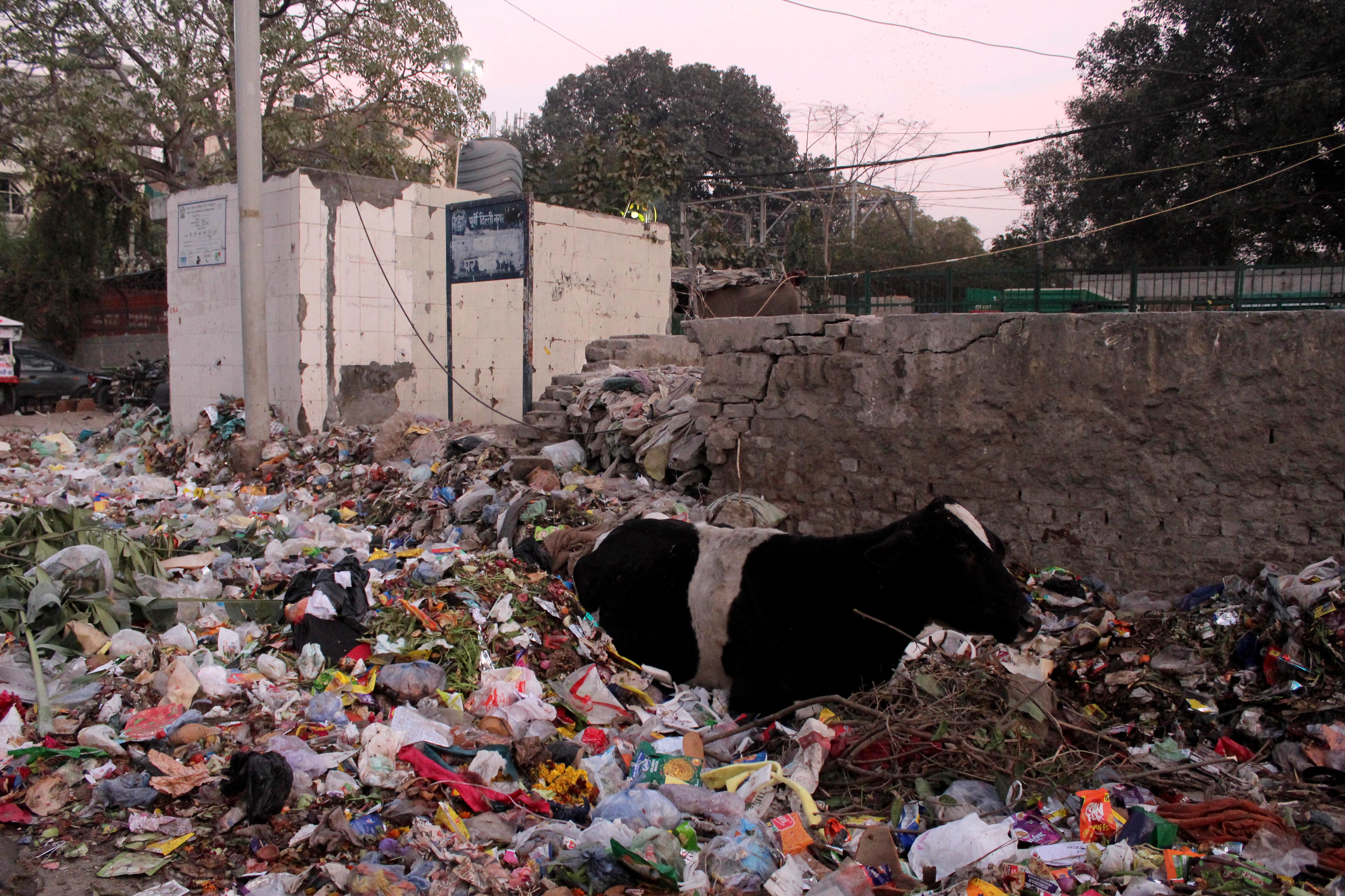 71 kiló szemetet operáltak ki egy indiai tehén gyomrából