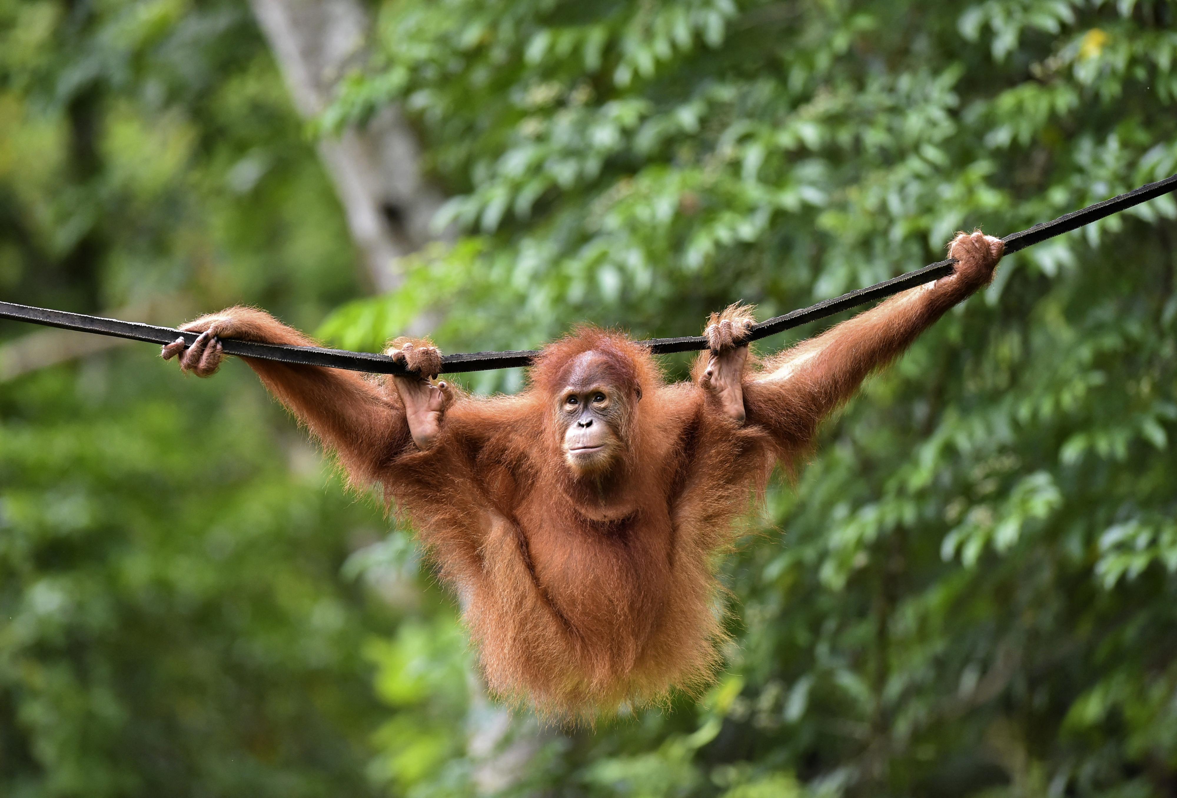 Kísérleti oltást kaptak a San Diego-i állatkert majmai