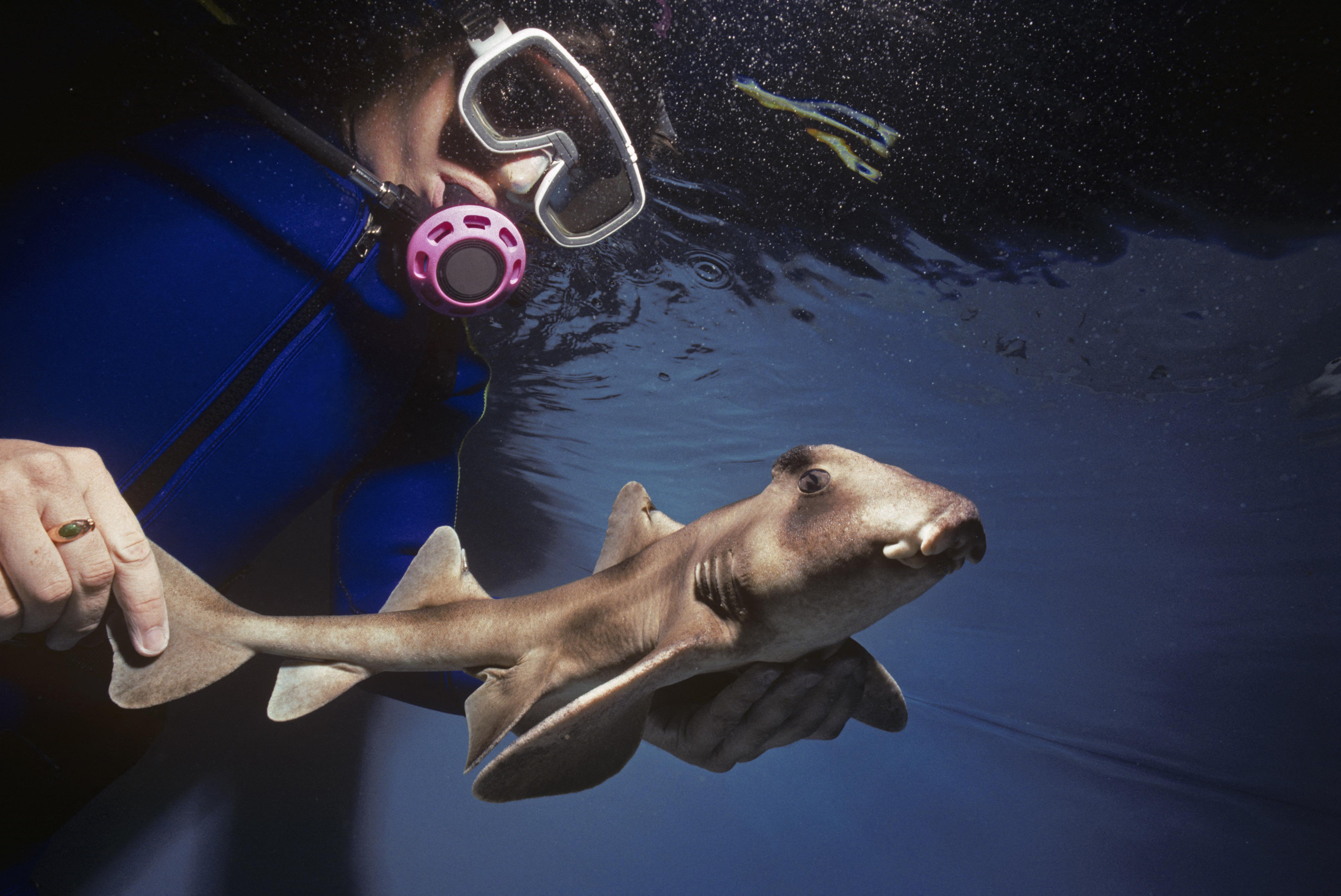 A melegedő óceánok miatt kisebbek a bébicápák és rosszabbak a túlélési esélyeik