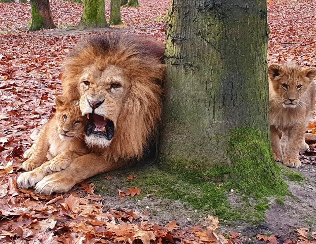 Kiherélték Thort, az arnhemi oroszlánt