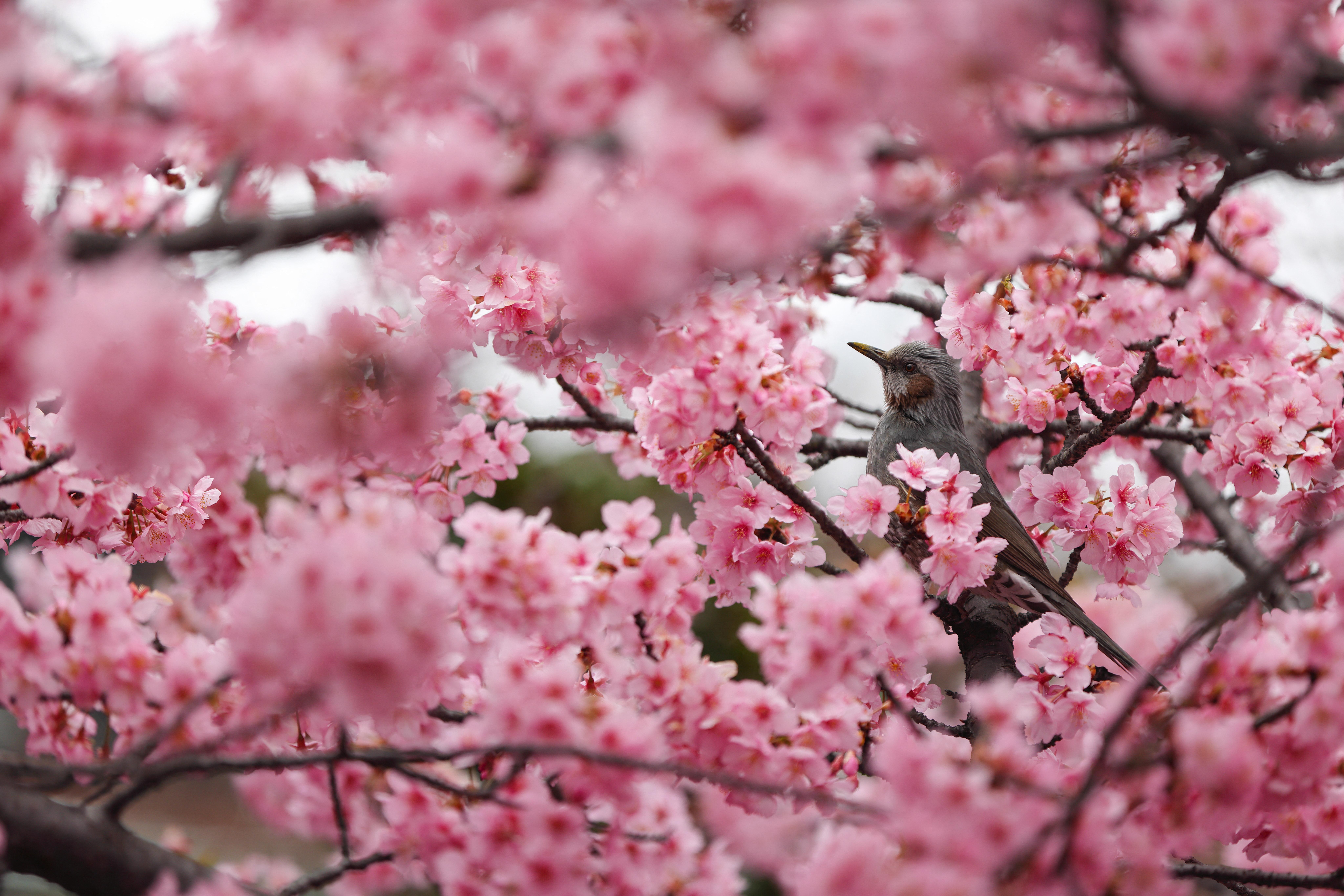 Elmaradnak idén a cseresznyevirágzás-fesztiválok Japánban