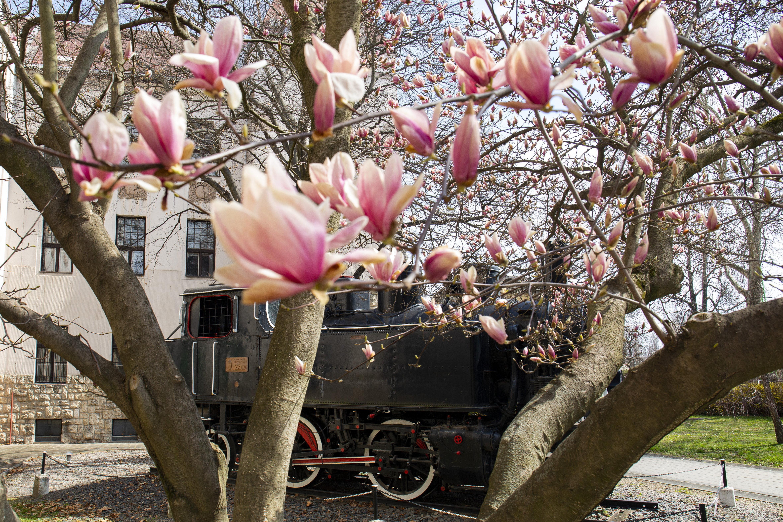 Határozottan virágzik a liliomfa Pécsen