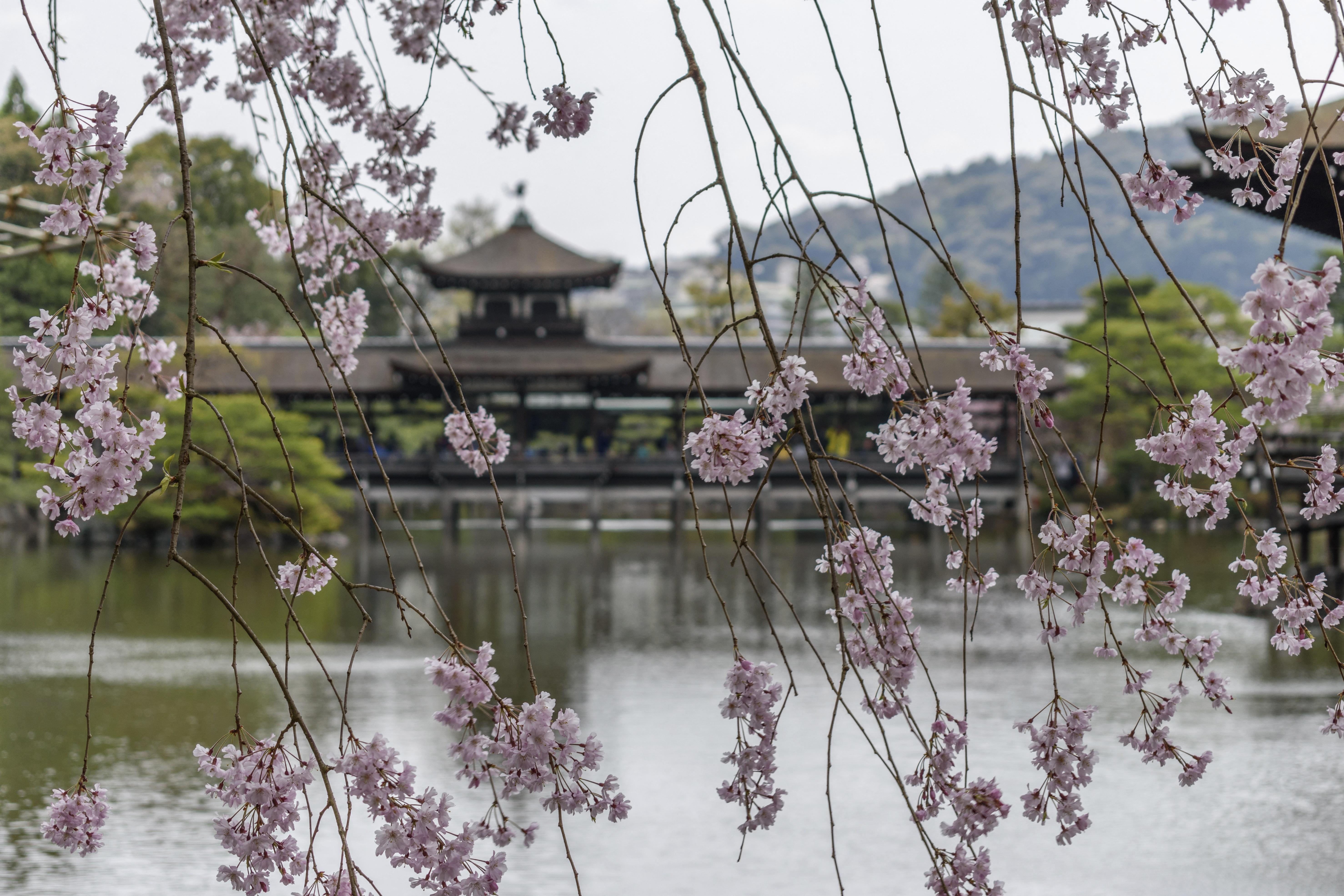 Az elmúlt 1200 évben nem virágoztak ilyen korán a cseresznyefák Kiotóban