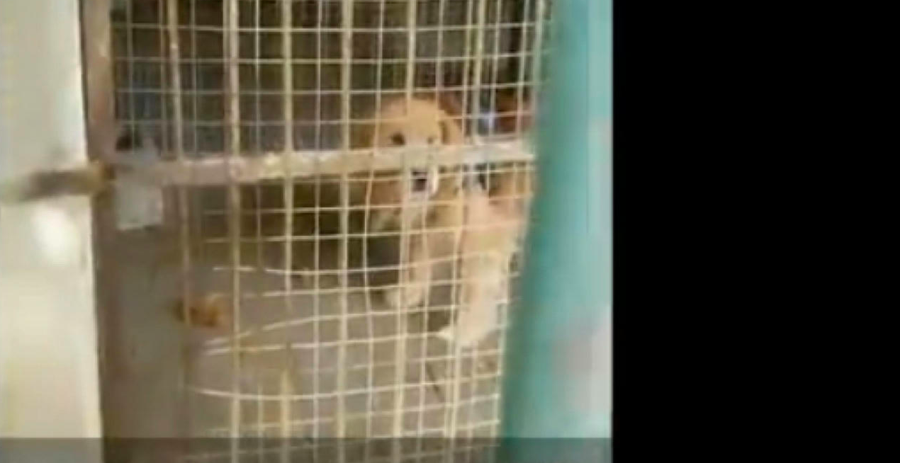Golden retrievert próbáltak oroszlánként eladni egy kínai állatkertben