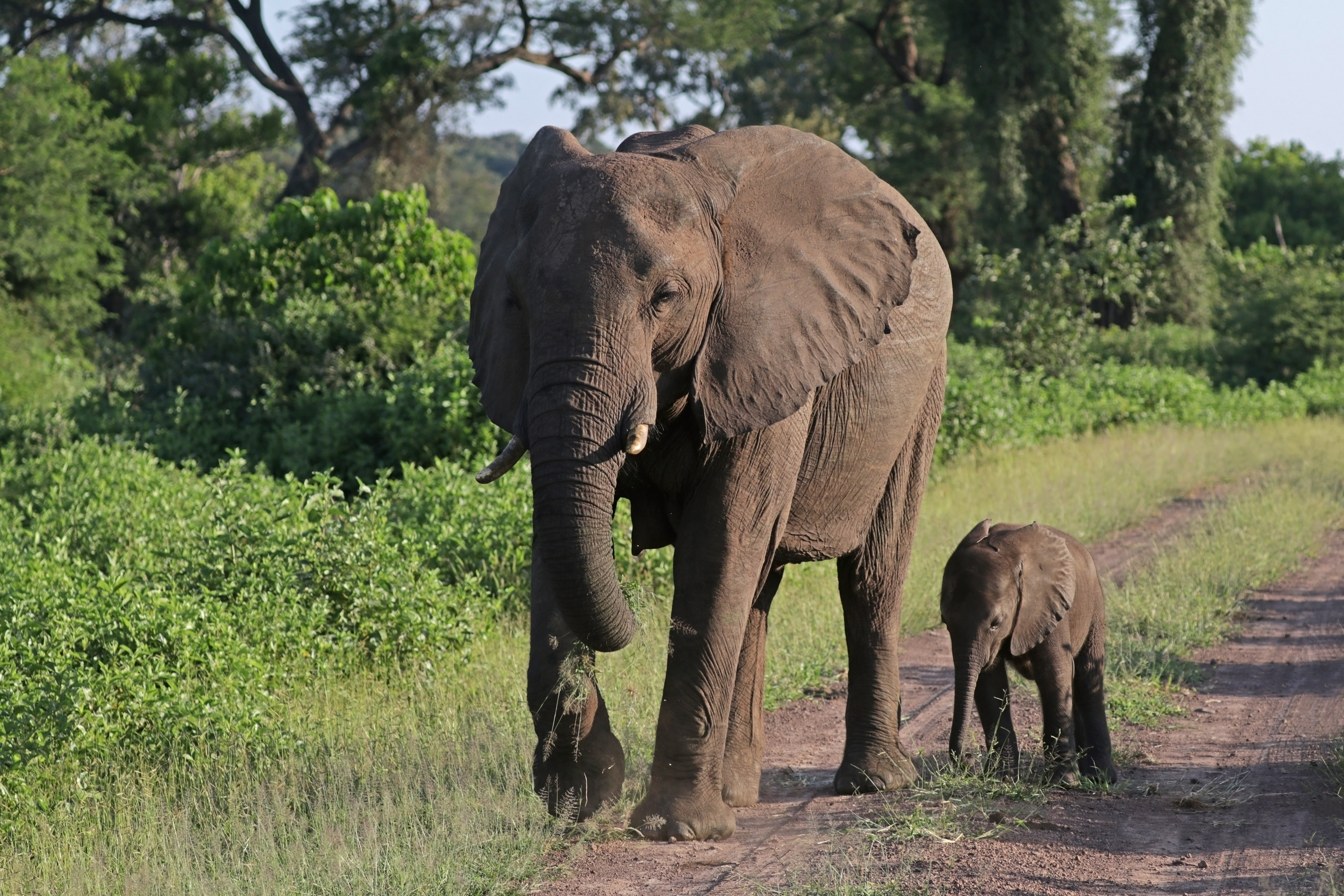 Egy egész elefántcsordát költöztetnek Angliából Kenyába