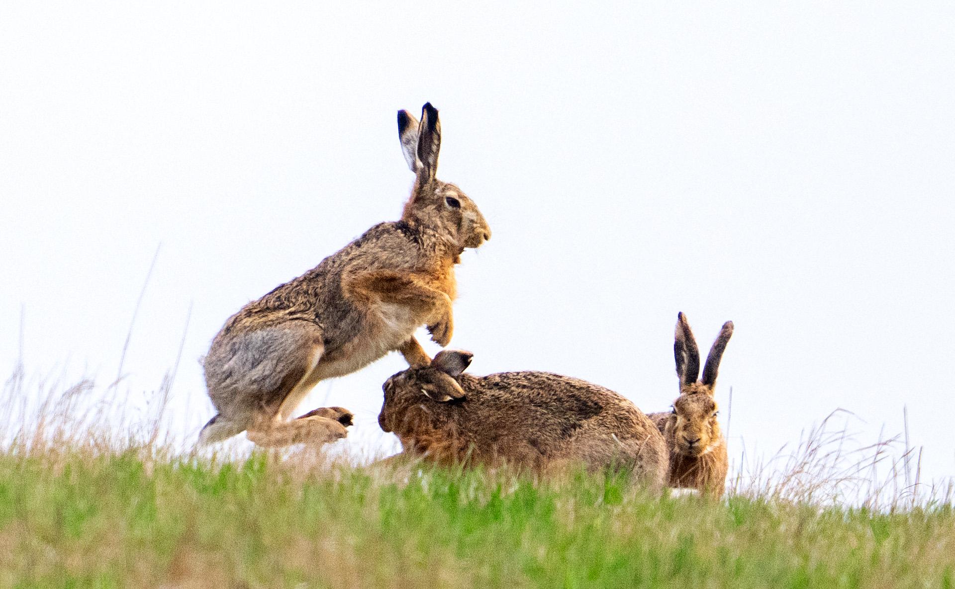 Egy új-zélandi városban képletes tojásvadászat helyett szó szerinti nyúlvadászattal köszöntik a húsvétot