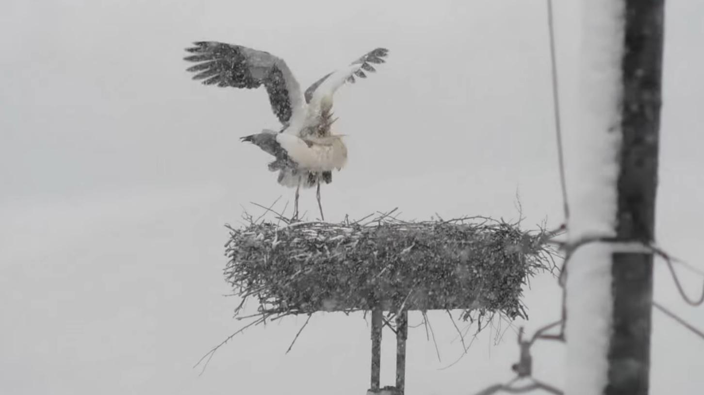 Egyáltalán nem zavarta a párzó gólyapárt, hogy közben szakad rájuk a hó