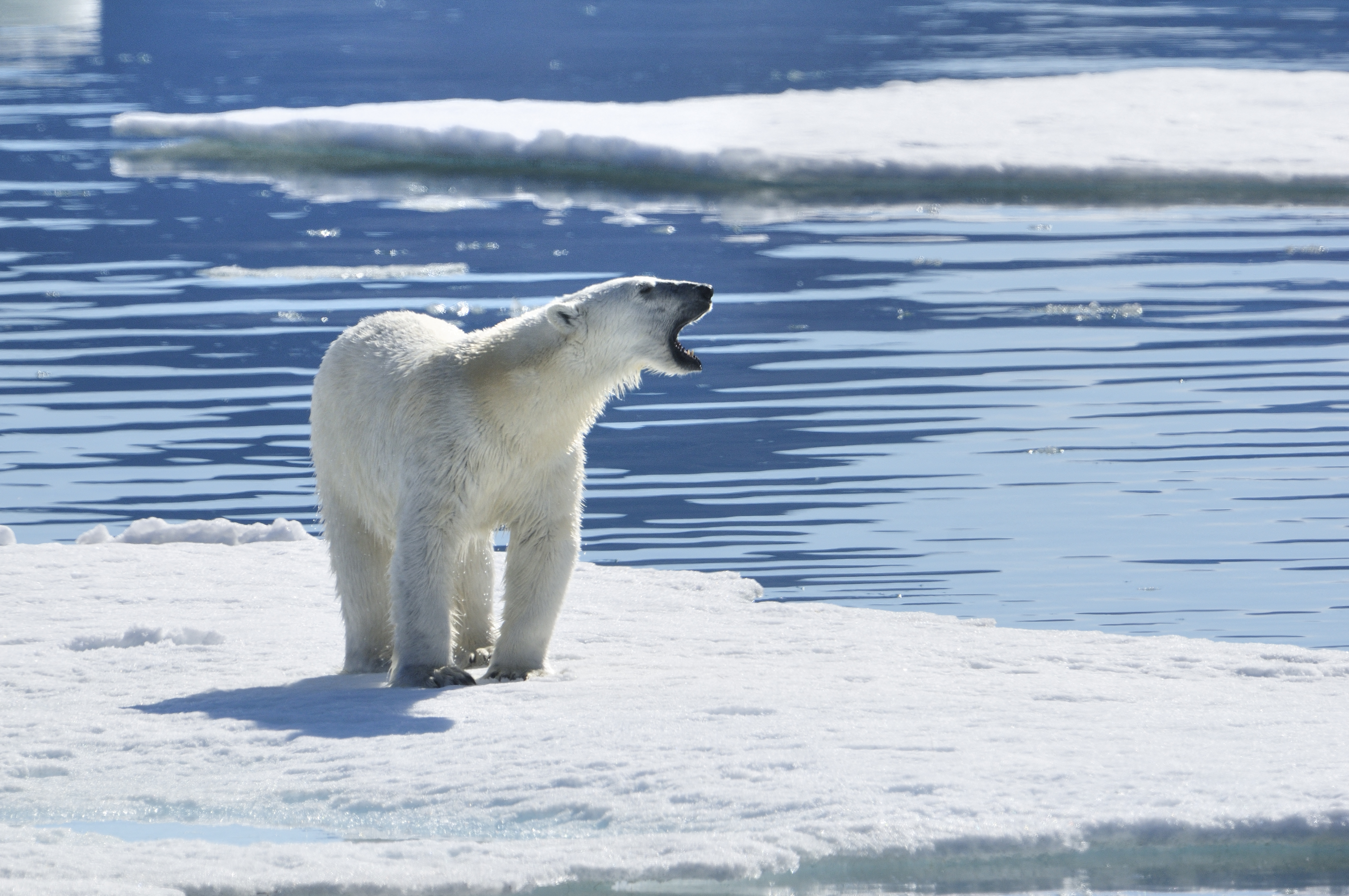 Egyelőre ügyetlen tojástolvajok a jegesmedvék, de hosszabb távon nem a pehelyrécék fognak nevetni