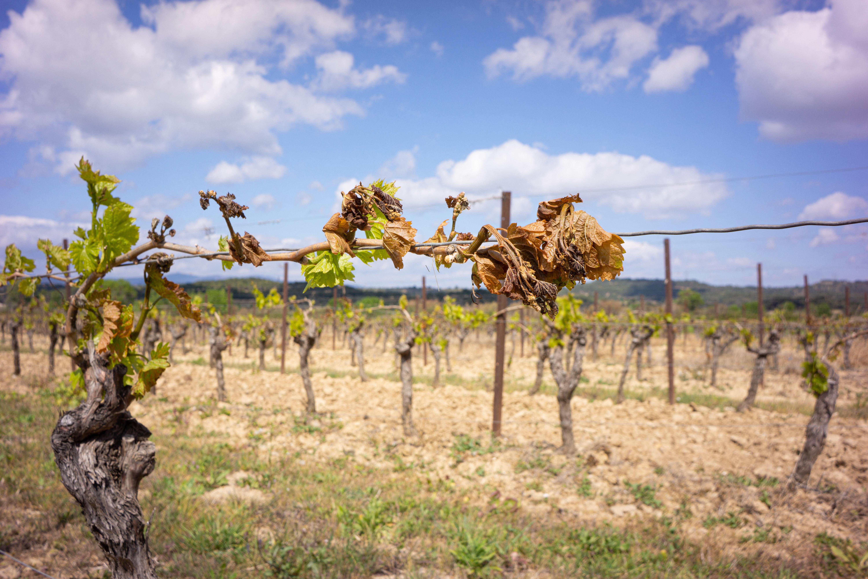 Úgy tűnik, a váratlan fagyok miatt lőttek az idei szőlőtermésnek Franciaországban