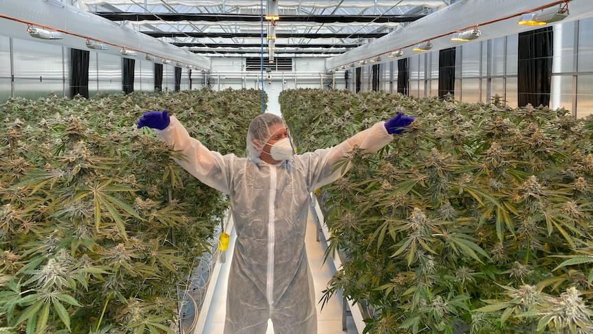 Ausztrália konzervatív központjában hoznak létre gigantikus marihuána-ültetvényeket