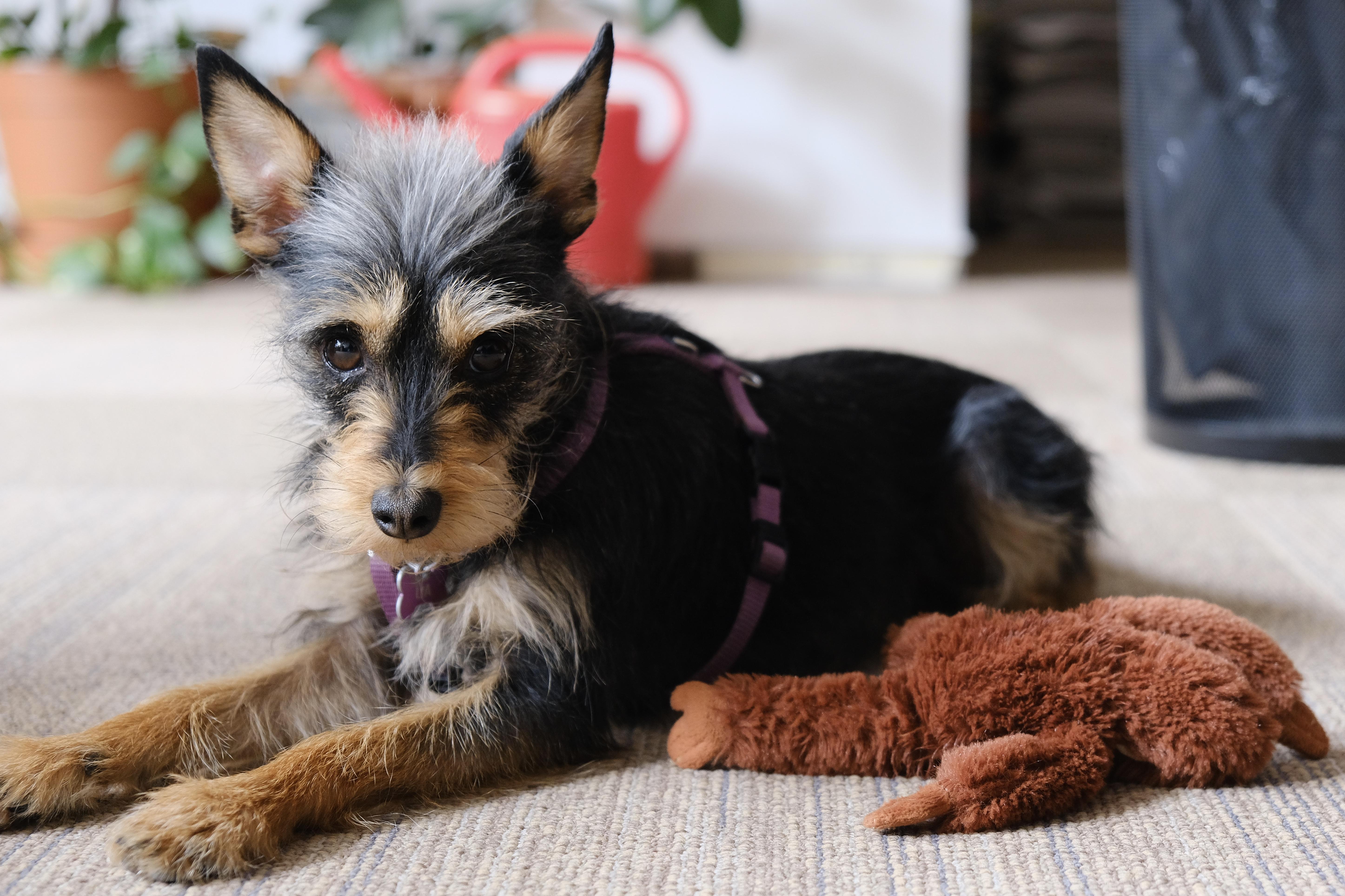 A kutyák 96 százalékos pontossággal ki tudják szagolni a koronavírus-fertőzést