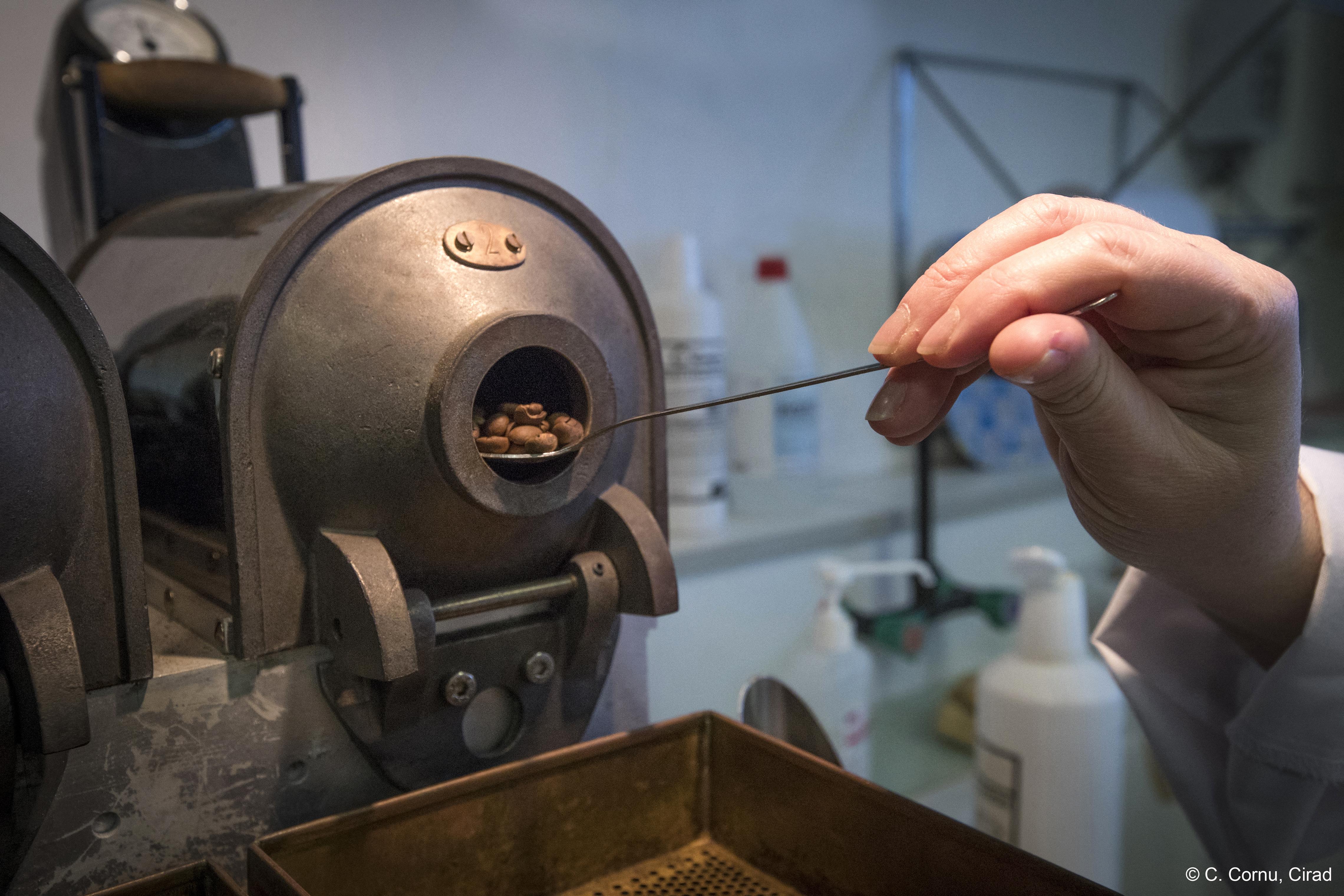 Régi-új kávéfaj mentheti meg a kávézást a klímaváltozástól
