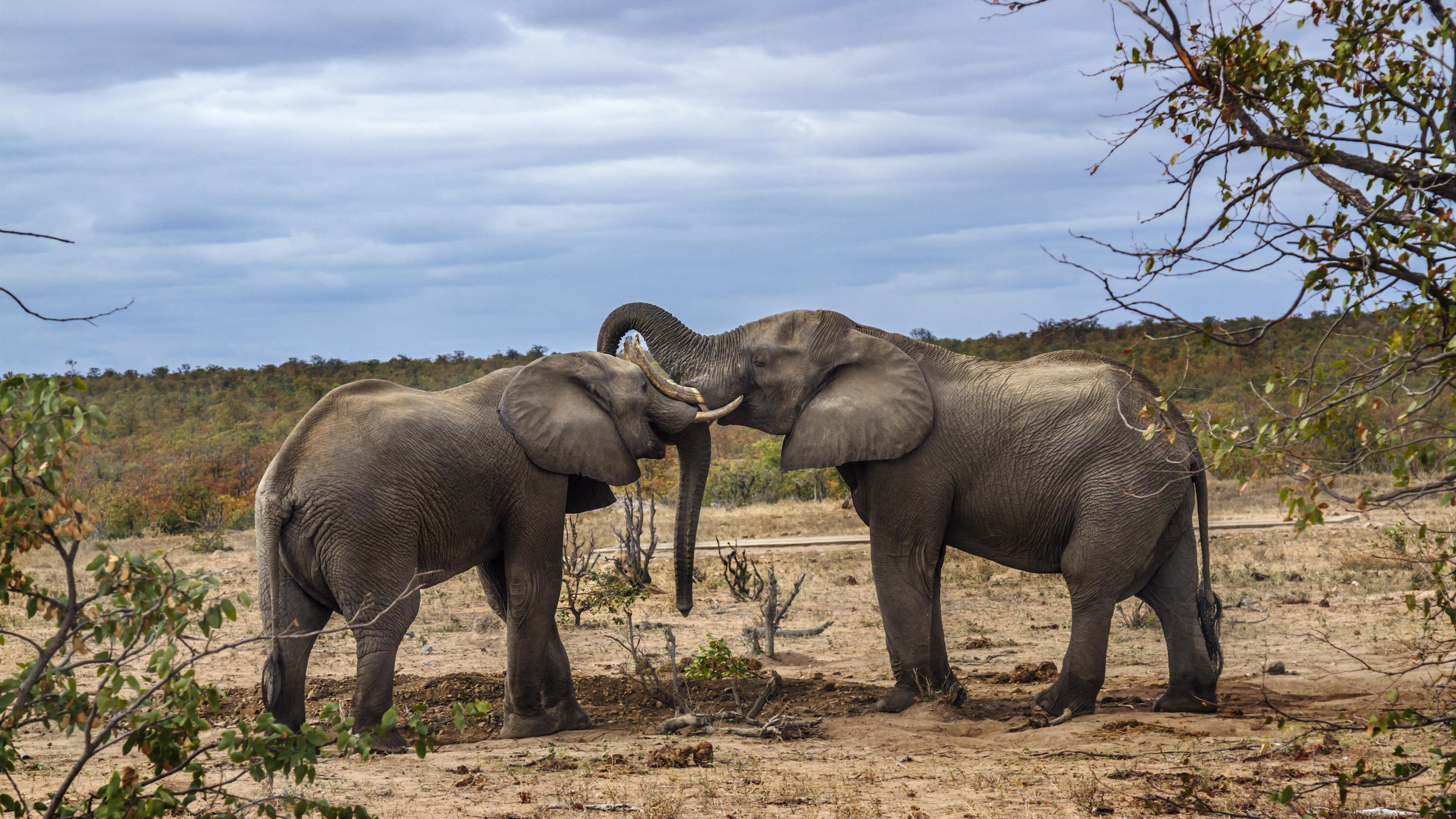 Elefántok tapostak agyon egy orvvadászt