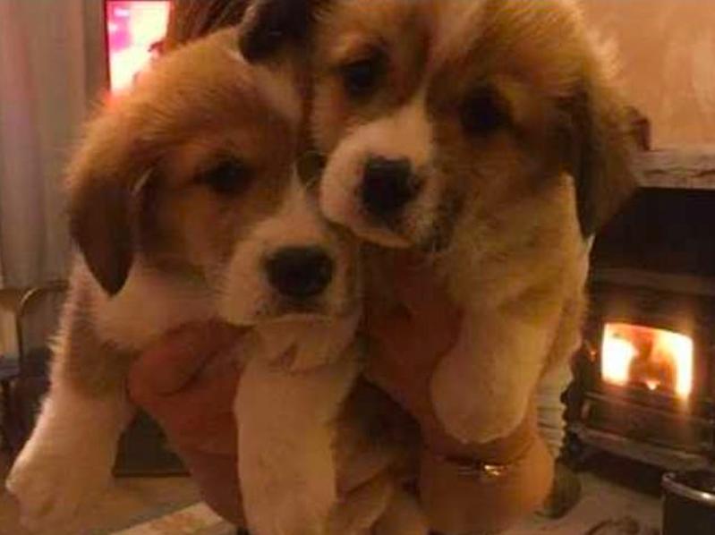 Három éve eldöntötte, hogy nem lesz több kutyája az életben, most mégis két corgikölyökkel vigasztalódik II. Erzsébet