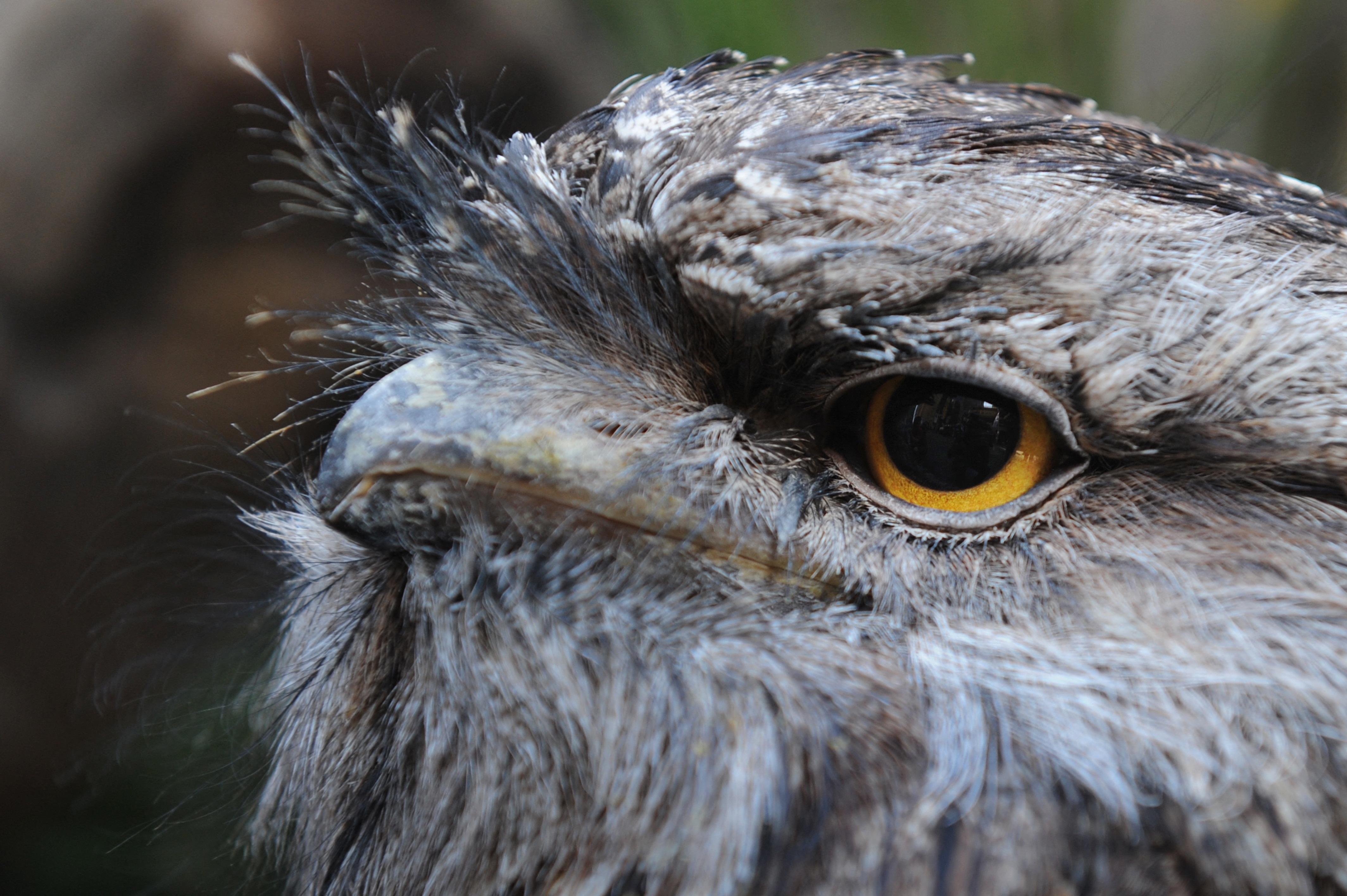 Tudományos tény: a bagolyfecske a világ legfotogénebb madara